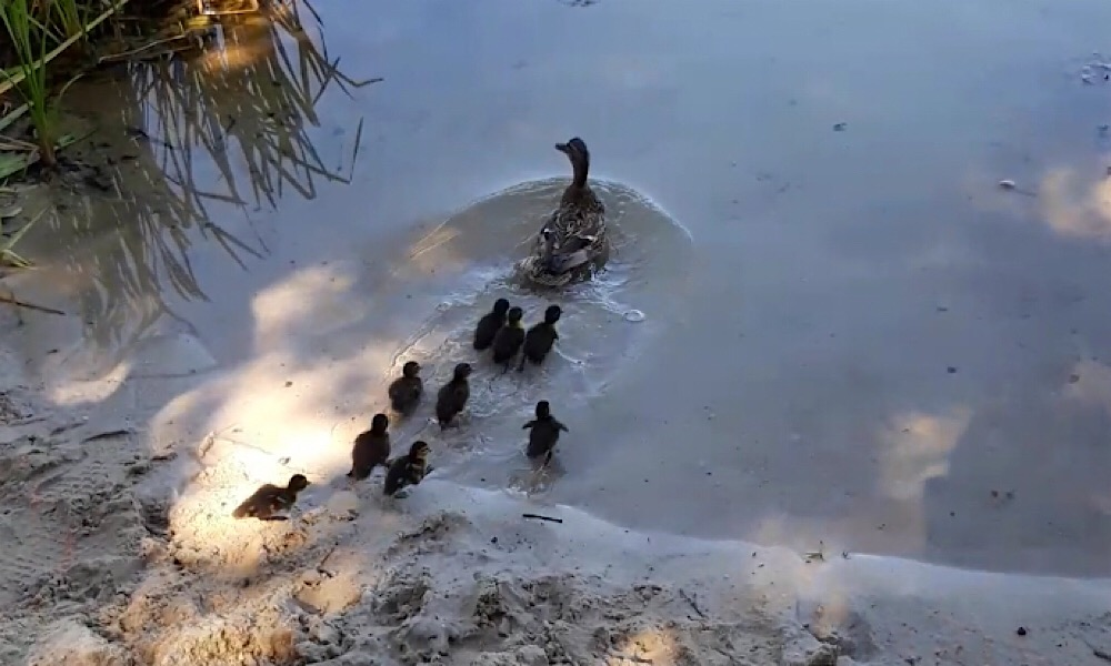 Hilflose Entenfamilie auf der Straße