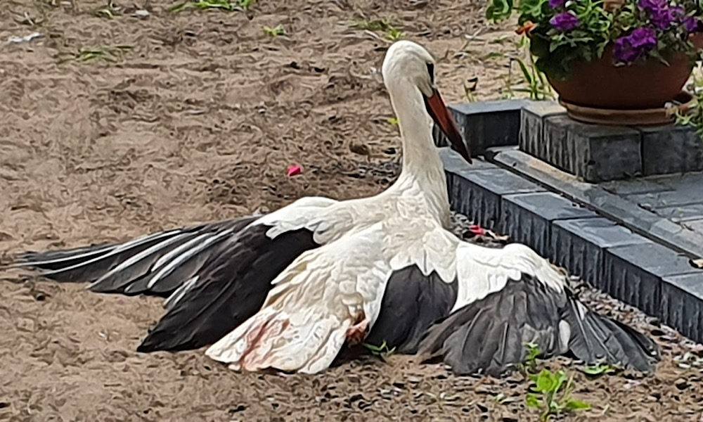 Verletzter Storch im Garten